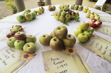 Close-up of apples on a circular table at Westbury Court Garden as part of their 1st apple day