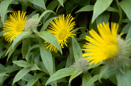 View of three bright yellow Inula hiikeri surrounded by bright green leaves, in the garden at Wallington