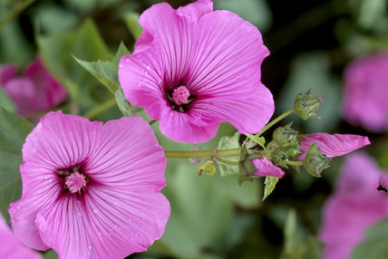 View of two brightly coloured pink Lavatera 'silver cup' flowers at Wallington