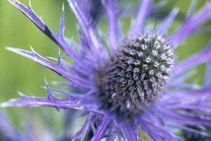 Close up of an Eryngium, DK blue form, in the garden at Wallington