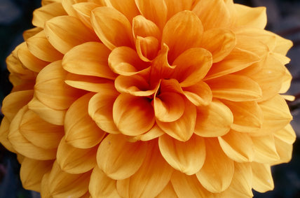 Close up of a single bright orange 'David Howard' Dahlia at Wallington