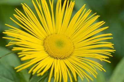 Close up view of a single bright yellow Inula hookeri, in the garden at Wallington
