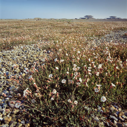White campion growing on shingle ridges, with pagodas outlined on the horizon