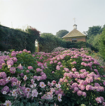 Pink hydrangeas in a walled garden at Gunby Hall looking towards the pigeon house