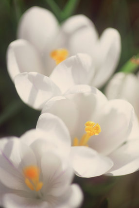 A close up detail of white crocus growing in April at Sissinghurst Castle Garden