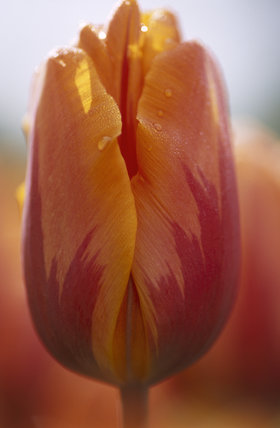 A close up of a Tulip 'Princess Irene', growing in April at Sissinghurst Castle Garden
