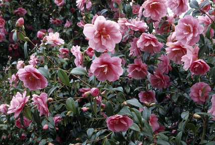 View of camellia williamsii in bloom at Antony House
