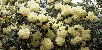 A close view of some creamy coloured rhododendrons at Stagshaw Garden