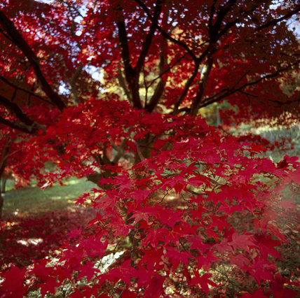 Beautiful autumn leaves on an Acer - Japanese Maple tree, at Winkworth Arboretum