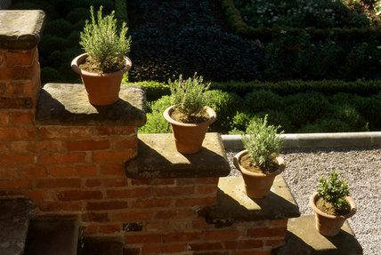 Lavender Stoechan in terracotta pots on the steps at Hanbury Hall