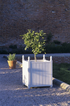 A Lemon Tree in a white Versaillers Tub in the garden at Hanbury Hall