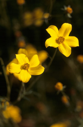 Close-up detail of Bidens 'Cosmos Altrosanguineus' at Tatton