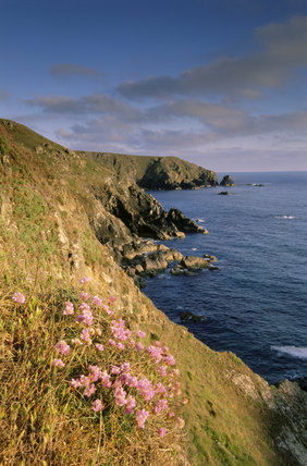 A view of the coastal scene at Lizard Peninsula with pink flowers growing in the foreground