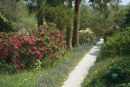 A rough path through the wild part of the garden at Trellissick, bordered by rhododendrons and bluebells