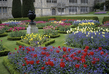 The Parterre at Lanhydrock with tulips of various colours, set in a sea of myosotis (Forget-me-not)