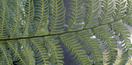 A close-up of a tree fern leaf (Dicksonia Antarctica) which resembles palm leaves in the garden at Penrhyn Garden