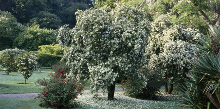 A view of the Eucryphia trees in flower in Penrhyn Garden