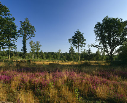 An open area of Witley Common, with several straggly trees, and a carpet of heather stretching away to the denser wood