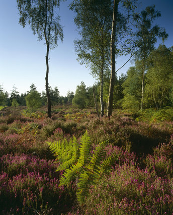 Heather and bracken along the southern border of Witley Common, with several straggly trees silhouetted against the bright sky