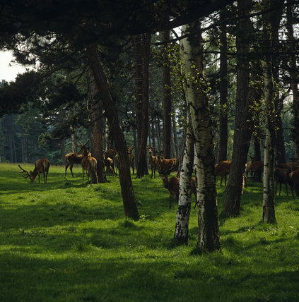 A herd of red deer among the trees in the parkland at Lyme Park