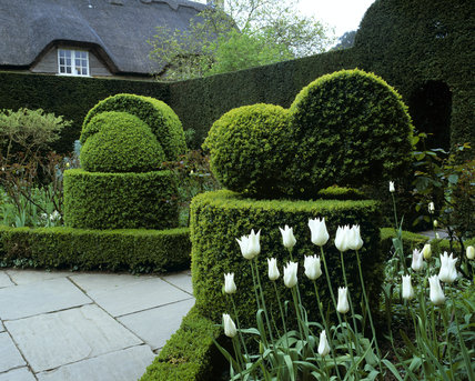 A view of the white garden showing the spherical topiary hedges with the thatched cottage in the background and