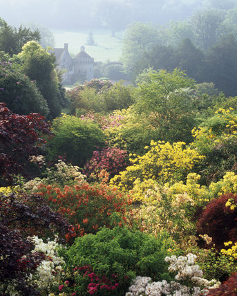 Misty view of Azaleas & Rhododendrons above the quarry at Scotney Castle