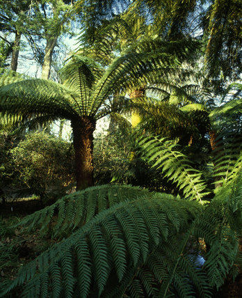 Giant tree ferns - Dicksonia australis in fern garden