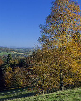 A wooded slope at Brockhampton in Herefordshire taken in Autumn when the leaves on the trees are turning to brown and gold