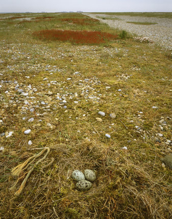 Lesser Black-backed gull )Larus fiscus) nest with eggs at Orford Ness, looking along the old shingle banks towards the pagodas and lighthouse