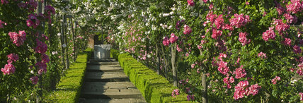 A long view of roses trained on pergolas in the Walled Garden at Polesden Lacey, Surrey