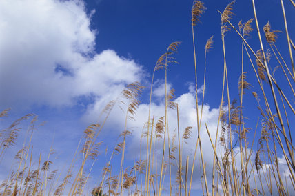 Tall reeds against blue sky - Phragmites australis, at Wicken Fen, Cambridgeshire