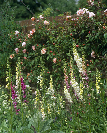 Foxgloves and Roses flowering in garden