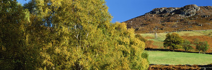 Silver birch trees at Ashness bridge in Autumn, Borrowdale