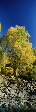 Birch trees near Asness bridge, Borrowdale