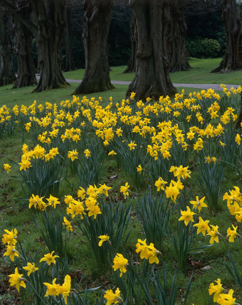 Daffodils under tree lined avenue