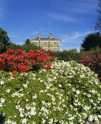 Gorgeous red and white flowering azaleas with house beyound on fine day