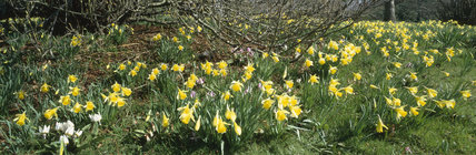 Bright spring flowers in grass - Daffodils and Erythroniums