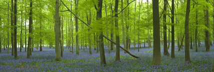 Bluebells under the beech and oak trees of Dockey Wood, Ashridge, Hertfordshire