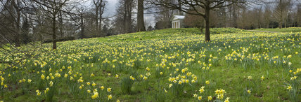 Daffodils and primroses with sweet chestnut trees in the Pleasure Ground at Petworth House and Park, with the Doric Temple in the background, West Sussex
