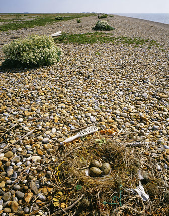 A Herring gull (Larus argentatus) nest with eggs looking north towards the pagodas at Orford Ness