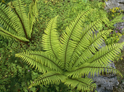 Close view of a Dryopteris Wallichiana fern in the Rock Garden at Sizergh Castle, Cumbria