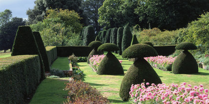 View of the sunken garden at Hinton Ampner, with clipped Irish Yews (Taxus baccata `Fastigiata') and beds of the dahlia `Park Princess'