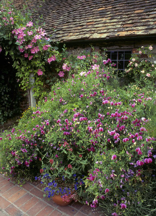 Clematis and Sweet Pea flowers at the back of Alfriston Clergy House, East Sussex