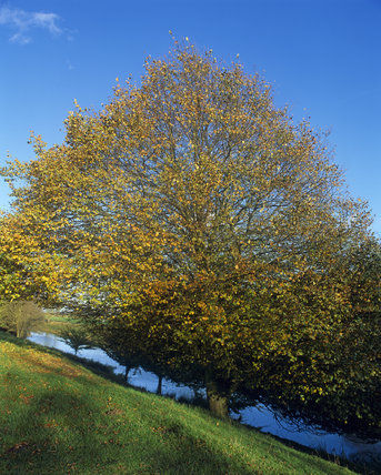 Trees on the bank of the Royal Military Canal,  Appledore