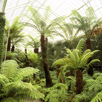 The Fernery (to the west of the Orangery) at Tatton Garden, with its mossy rocks, trickling pool, New Zealand tree ferns, abundant Woodwardia radicans and the creeping fig clinging to the walls
