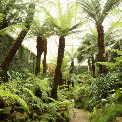 The Fernery (to the west of the Orangery) at Tatton Garden, with its mossy rocks, New Zealand tree ferns, abundant Woodwardia radicans and the creeping fig, clinging to the walls
