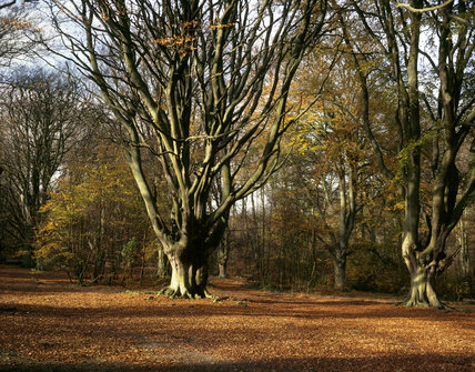 View showing beech trees in woodland carpeted with autumn leaves at Ashridge Estate, Hertfordshire