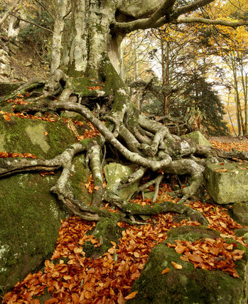 Gnarled and mossy root system and autumn leaves of a beech tree at Allen Banks, Northumberland