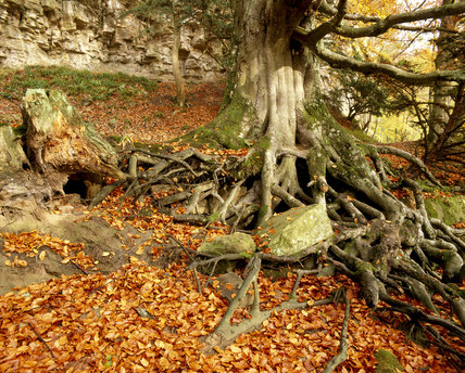 Beech tree with elaborate root system and autumn leaves in beech wood at Allen Banks, Northumberland