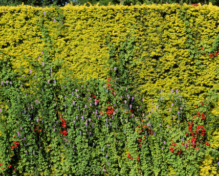Close-up of Tropaeolum Speciosum (Nasturtium) and Vetch on golden yew hedge, North Parterre at Dunham Massey